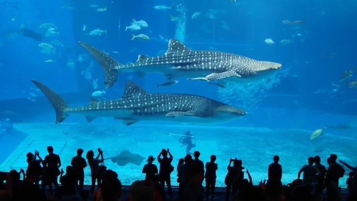 美ら海水族館のジンベイザメ