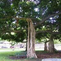 ハワイ・オアフ島にあるカピオラニ公園(公園にある変わった大木)