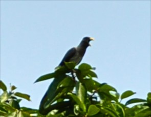 Western Gray Plantain Eater