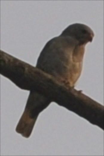 Small bird of prey:Lizard Buzzard