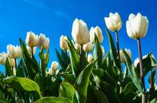 White tulips in the Netherlands