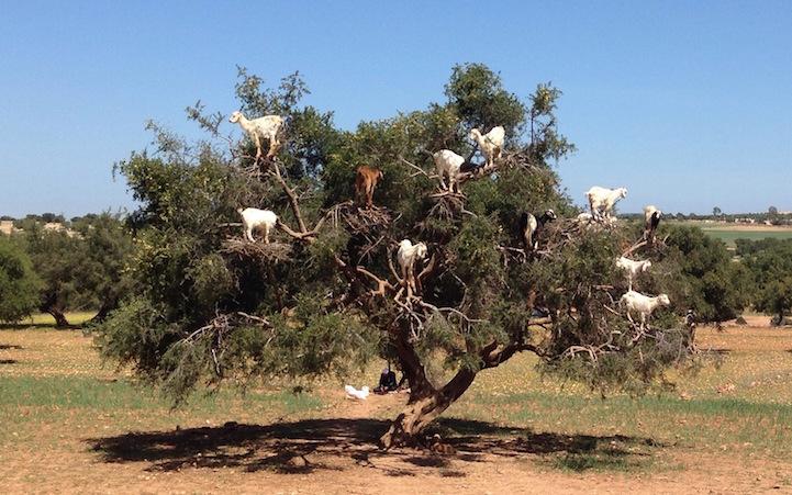 cabras (9)