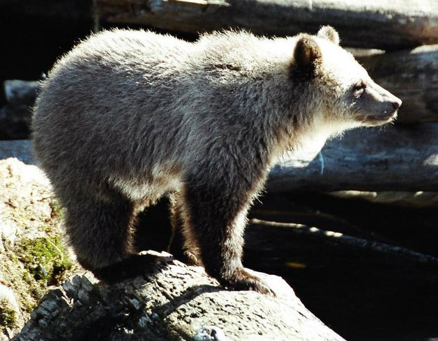 grizzly_cub