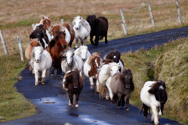 FOULA, SCOTLAND - OCTOBER 01: Ponies run free on the Island of Foula on October 1, 2016 in Foula, Scotland. Foula is the remotest inhabited island in Great Britain with a current population of thirty people and has been owned since the turn of the 20th century by the Holbourn family. (Photo by Jeff J Mitchell/Getty Images)