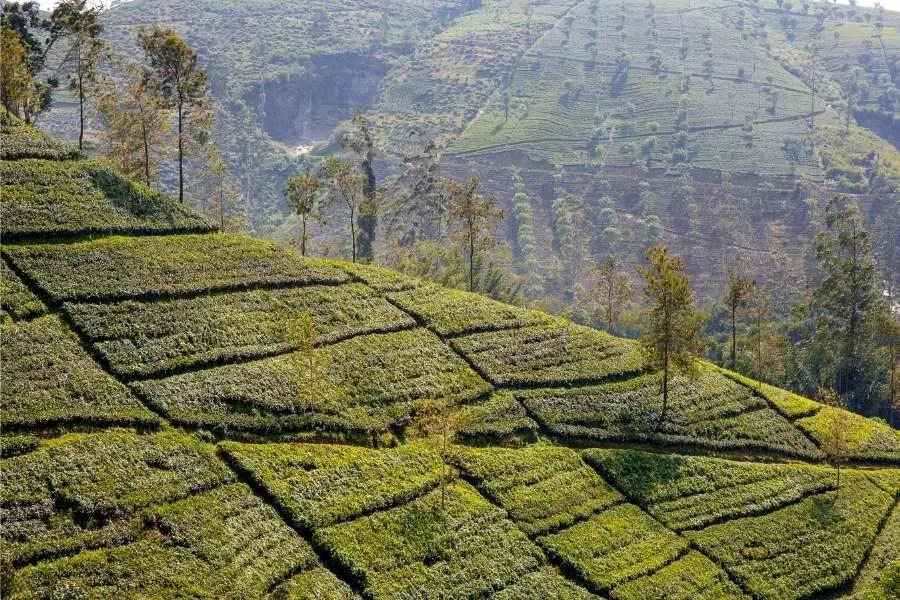 7 Things I Love About Sri Lanka - Tea plantation Sri Lanka