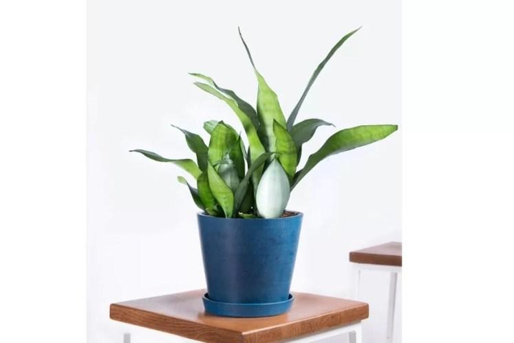 Sansevieria sau Limba-Soacrei. plante de casa pentru turisti si pentruc ei care iubesc vacantele ieftine