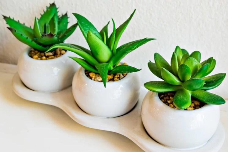 aloe - plante de casa pentru calatori