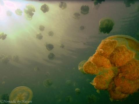 Golden Jellyfish, Jellyfish Lake, Palau