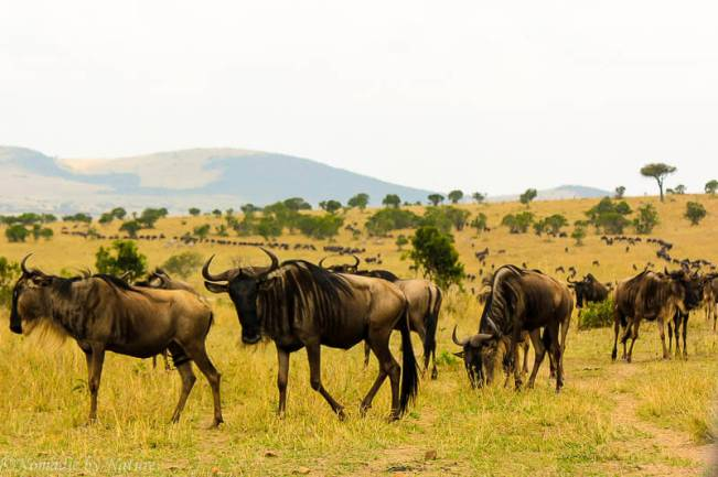 A long Line of Wildebeest Wind Through the Plains