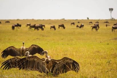 Vultures Sunning Their Wings, Maasai Mara