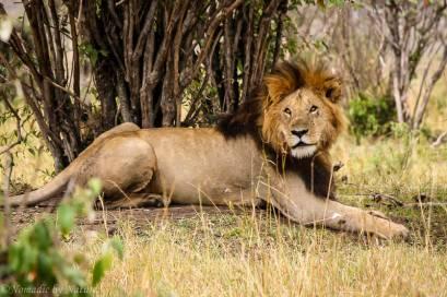 Male Lion Resting, Maasai Mara