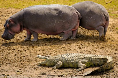Hippos and Crocodiles, Maasai Mara