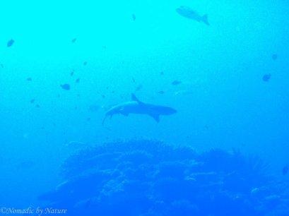 Reef Shark, Ulong Passage, Palau