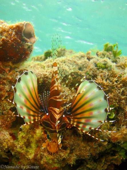 Lionfish, Malu Island, Kingdom of Tonga