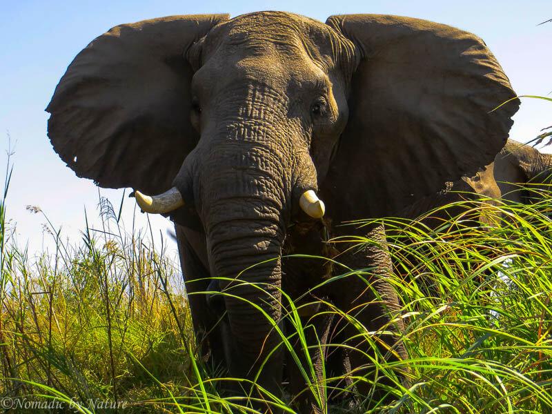 A big bull elephant flaps his ears at us