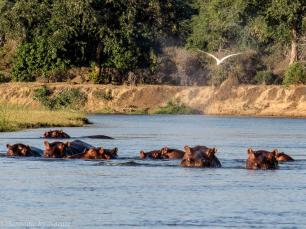 Hippos spraying water into the air, as they face off with us on a particularly skinny river passing