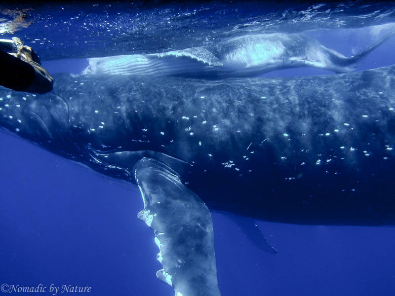 The Mother Humpback, Pushes the Calf to the Surface to Breathe