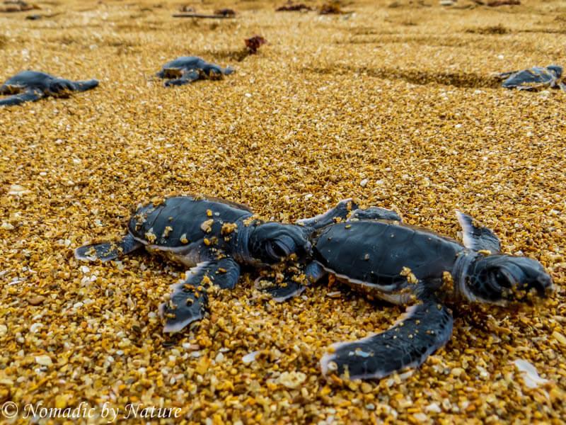 Turtles Hatching, Manda Island, Kenya