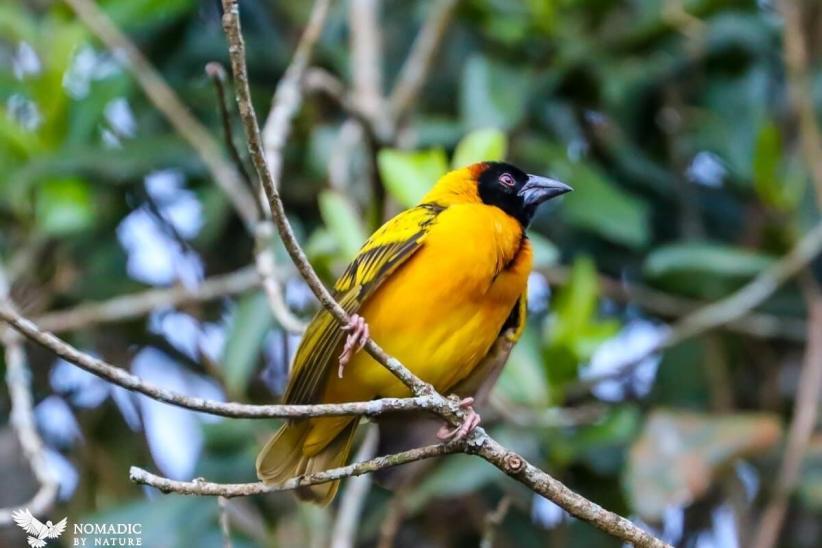 Weaver Bird, Bigodi Wetlands, Uganda
