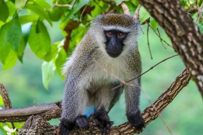 Vervet Monkey, Bigodi Wetlands, Uganda