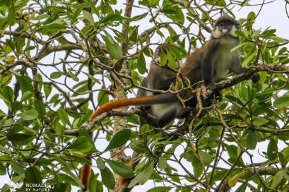 Red Tailed Monkey, Bigodi Wetlands, Uganda