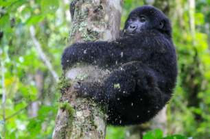 A Juvenile Descends a Tree, Bwindi, Uganda