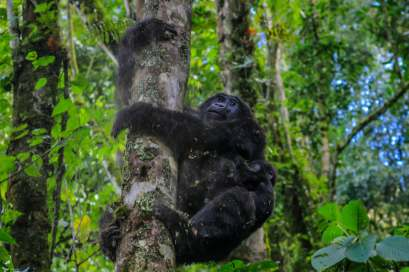 A Mother and Baby Gorilla Descend a Tree, Bwindi, Uganda