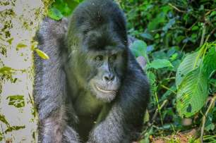 The Silverback Saunters Towards Us, Bwindi, Uganda