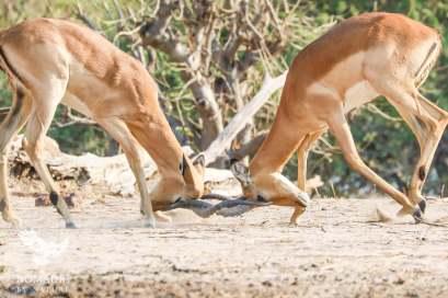 Two Impala Battle for Dominance on Chobe Riverfront, Botswana