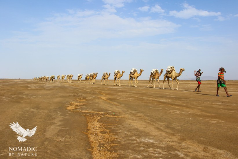 A Camel Caravan, Danakil Depression, Ethiopia