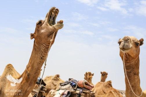 A Camel Bored of the Salt Falts, Danakil Depression, Ethiopia