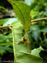 Leaf Mantis, Danum Valley, Borneo