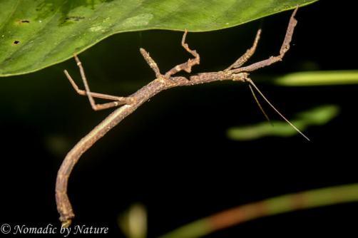 Giant Stick Bug, Danum Valley, Borneo