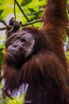 Male Flanged Orangutan, Danum Valley