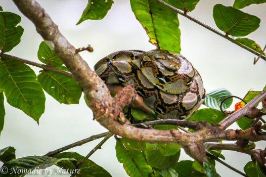 Reticulated Python, Danum Valley