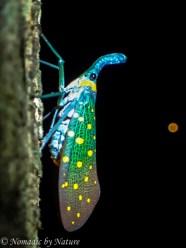 Lantern Bug, Danum Valley, Borneo