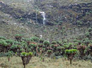 A Waterfall in a Groundsel Forest, Rwenzori Mountains National Park