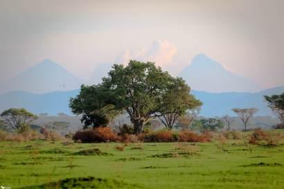 Ishasha in Front of Volcanoes on the Rwandan Border, Queen Elizabeth National Park