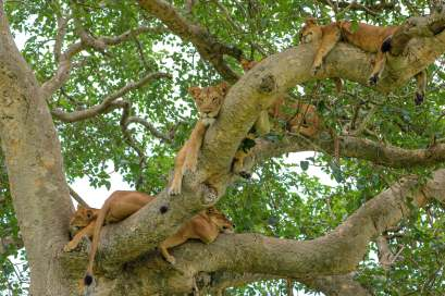 A Whole Pride of Lions Taking a Nap in a Tree, Ishasha, Queen Elizabeth National Park