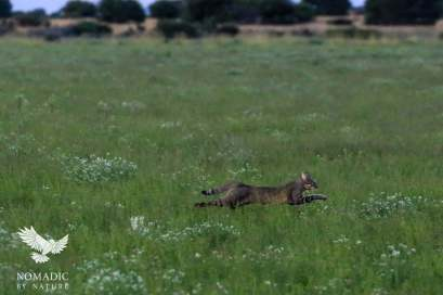 An African Wild Cat Bounding Across the Plains, Kalahari Plains, Botswana