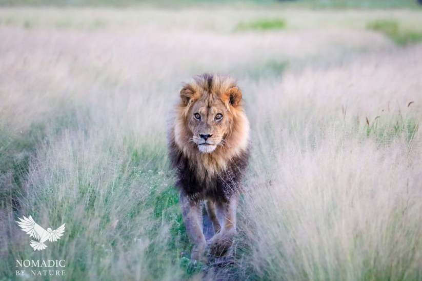 Male Lion Sauntering Towards Me, Kalahari Plains, Botswana