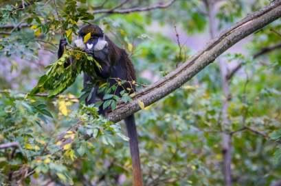 The Red-tailed Monkey, Kasenda Crater Lakes, Uganda