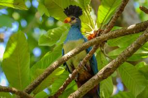 The Great Blue Turaco, Kasenda Crater Lakes, Uganda