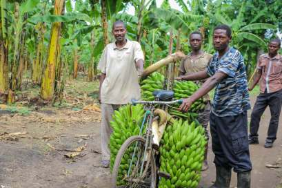 Bicycles and Bananas, Kabate, Uganda