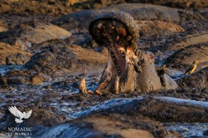 A Hippo Yawning in a Wallow of Poo, Katavi National Park, Tanzania