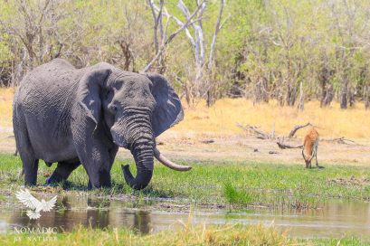An Old Elephant Munches in the Reeds, Khwai, Botswana