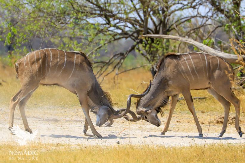 Two Male Kudu Battle for Dominance, Khwai, Moremi Game Reserve, Botswana