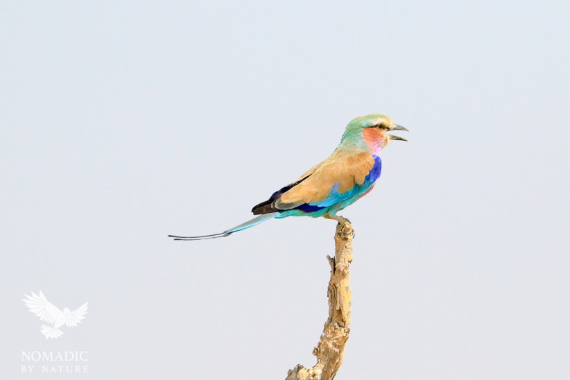 A Lilac Breasted Roller, Khwai, Moremi Game Reserve, Botswana