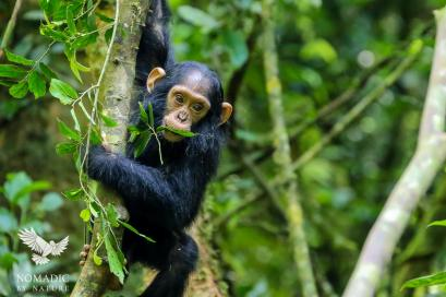 A Baby Chimpanzee Finds a Leafy Snack, Kibale National Park, Uganda