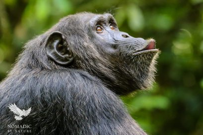 A Female Chimpanzee Calls to Males in the Trees Above, Kibale National Park, Uganda